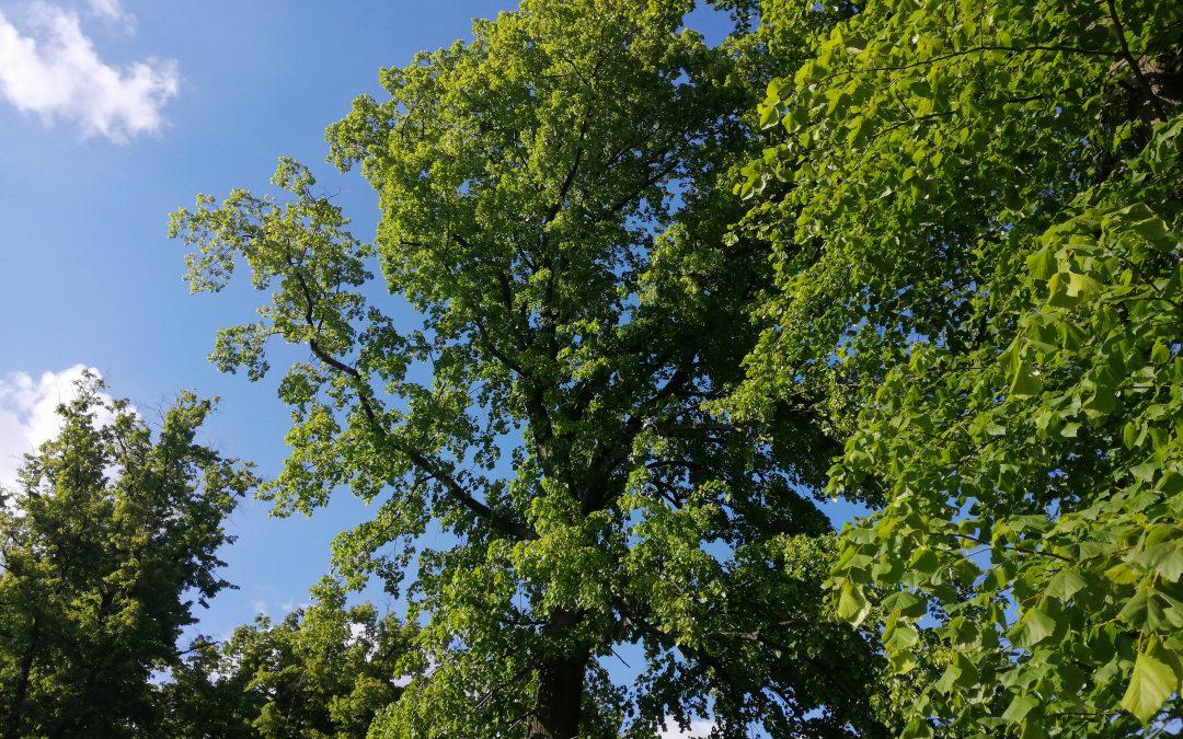 30 drzew na 30 – lecie samorządu terytorialnego